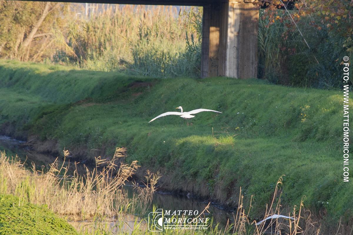 Esemplare di Airone avvistato a Lido di Camaiore // Foto: www.matteomoriconi.com